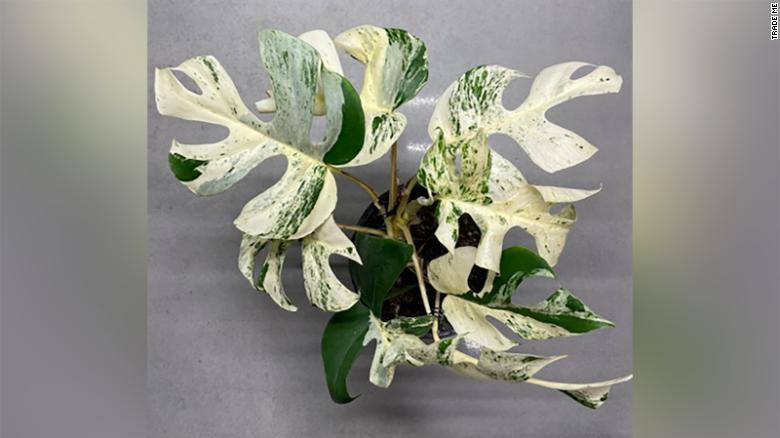 У Новій Зеландії на аукціоні продали найдорожчу кімнатну рослину (ФОТО)