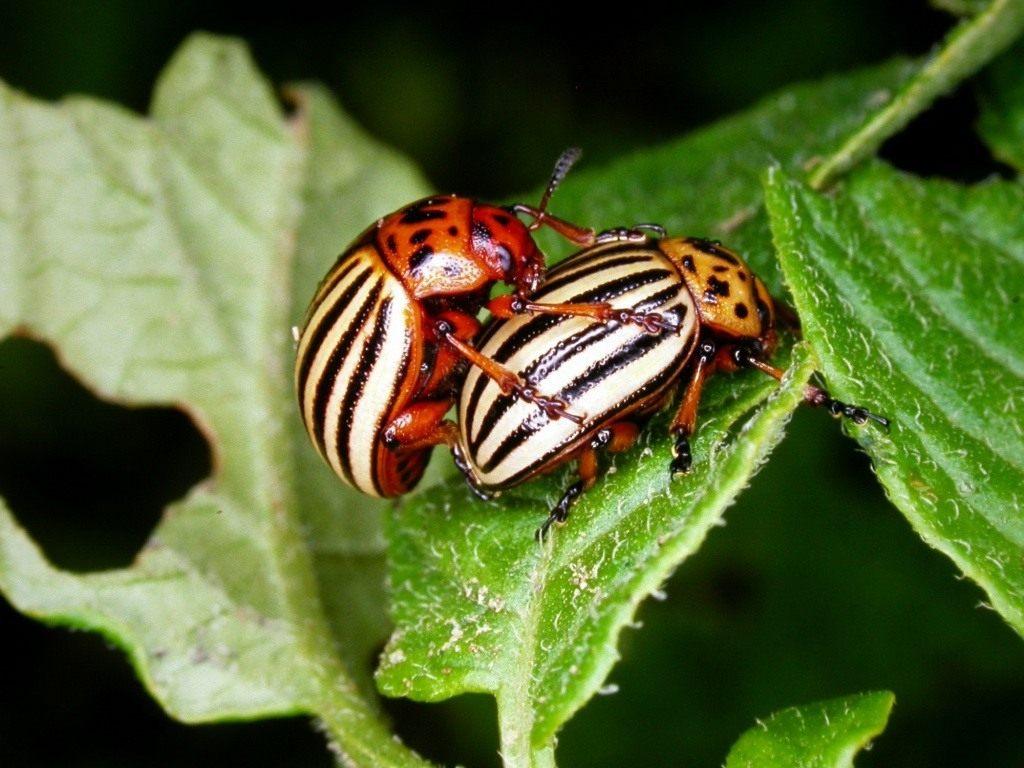 На городах Прикарпаття активізувалися колорадські жуки: фахівці радять, як безпечно їх побороти