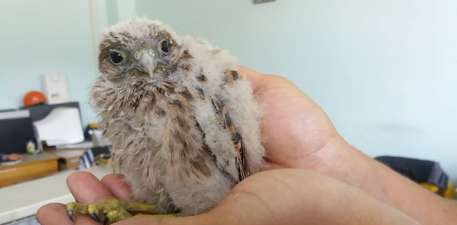 З котла Бурштинської ТЕС врятували пташеня боривітра (ФОТО, ВІДЕО)