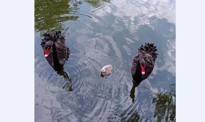 Милість, правда? Пара чорних лебедів з міського парку має першу малечу (ФОТО)