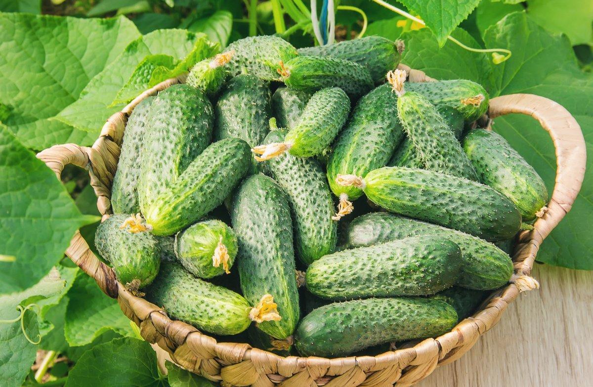 На Прикарпатті виявили 21 тонну огірків з перевищеним вмістом нітратів