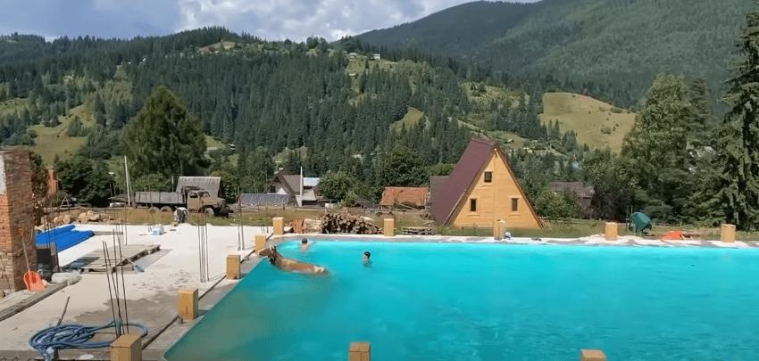 У Ворохті корова стрибнула у басейн з туристами (КУМЕДНЕ ВІДЕО)