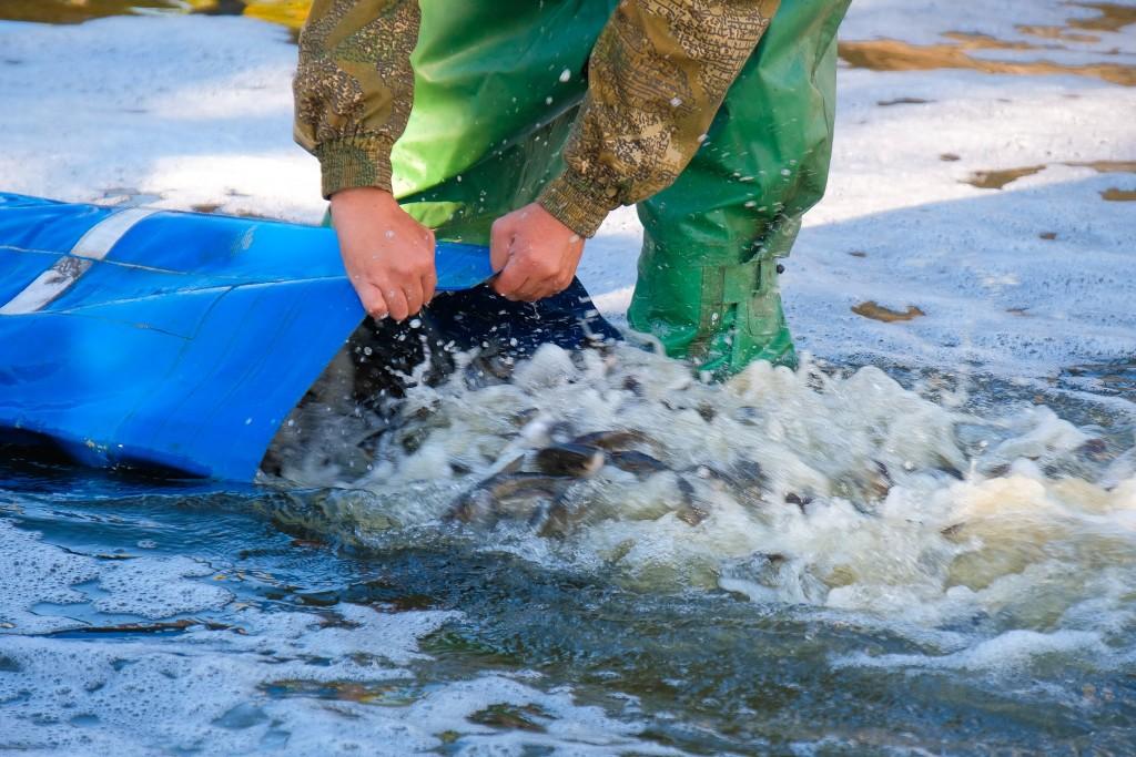 На Косівщині річку наповнили червонокнижною рибою (ВІДЕО)