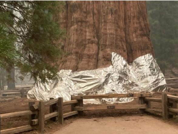 Пожежники Каліфорнії вкривають ковдрами найбільше дерево у світі, щоб захистити його від вогню