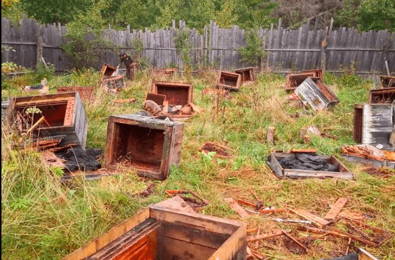 На Прикарпатті ведмідь розтрощив пасіку (ФОТО, ВІДЕО)