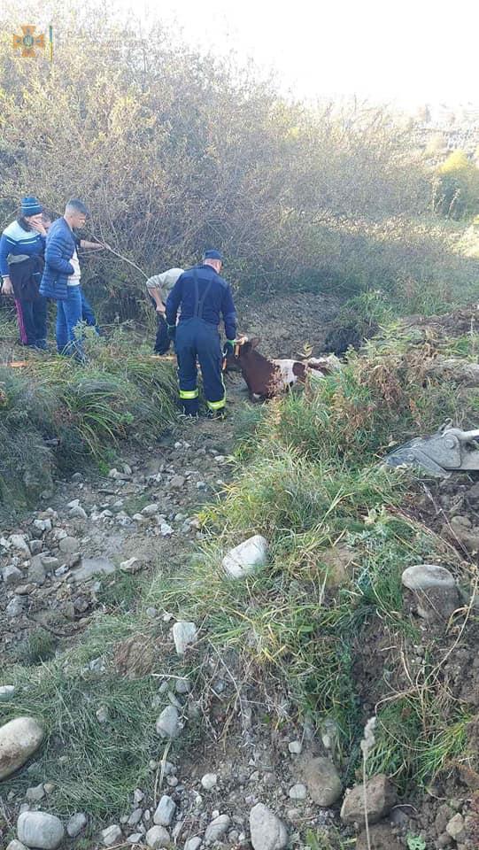 На Надвірнянщині корова впала у канаву – допомогли рятувальники з трактором (ФОТО)