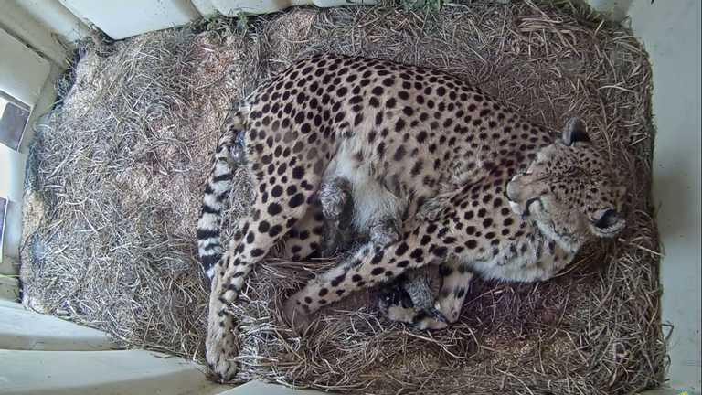 Одразу 5 гепардів народилися у заповіднику: за ними можна дивитися онлайн