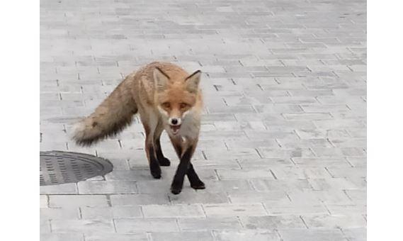 У центрі Франківська спіймали лисицю - її випустили в поле (ФОТО)